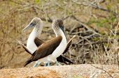 foto of booby  - a pair galapagos island blue footed boobies - JPG