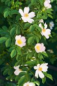 stock photo of wild-brier  - Bush of brier in time of blossom