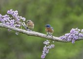 stock photo of bluebird  - Male and female bluebirds perched in lilacs - JPG