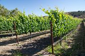 Young Vines Of California