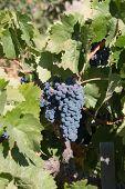 Ripe Black Grapes Ready For Harvest