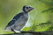 Baby bird Blue Jay