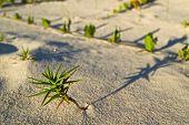 Tiny Beach Plant