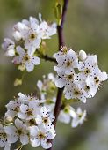 Spring White Bradford Pear Blossoms