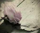 Pale Pink Rose With Textures
