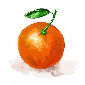 fruit orange Vector illustration  hand drawn  painted watercolor