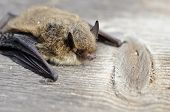 foto of bat  - animal bat Nathusius pipistrelle (Pipistrellus nathusii) on wooden background