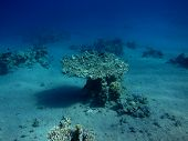 table coral in the deep