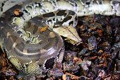 picture of terrarium  - beautiful Blood Python  - JPG