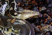 stock photo of terrarium  - beautiful Blood Python  - JPG