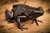 stock photo of poison arrow frog  - black poison dart frog Dendrobates auratus tropical rain forest animal from the exotic jungle of Panama - JPG