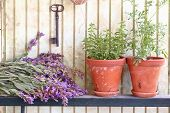 picture of origanum majorana  - Bunch of sage and pots with herbs in front of an old wall - JPG