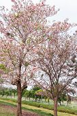 pic of trumpet flower  - flower tree with pink color in the garden pink trumpet tree - JPG