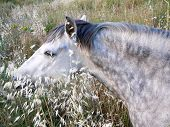 stock photo of horses eating  - Grey horse in field eating wild oats in Alora Countryside Andalucia - JPG