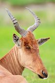 Closeup Portrait Of Hartebeest Antelope