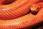 stock photo of jungle snake  - Albino Snake - Grass Snake - Ringelnatter ** Note: Soft Focus at 100%, best at smaller sizes - JPG