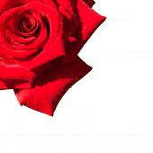 picture of single white rose  - red rose isolated on white background - JPG