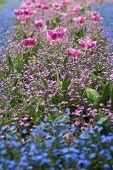 image of blue rose  - Lots of rose tulips and tiny blue flowers blooming in the grass - JPG