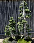 pic of bonsai  - decorative Bonsai tree in a japanese garden - JPG