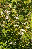 stock photo of blackberries  - Blooming Wild blackberry vines along  - JPG