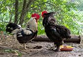 picture of fighting-rooster  - fight of cocks to farm. Close up ** Note: Soft Focus at 100%, best at smaller sizes - JPG