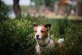 image of jack russell terrier  - Dog Jack Russell Terrier walks in the park summer - JPG