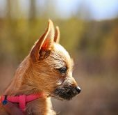 pic of chihuahua mix  -  a cute chihuahua mix in the arms of a caring person during fall  - JPG