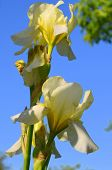 picture of eukaryote  - Iris against the sky - JPG