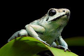 image of poison arrow frog  - poison arrow frog - JPG