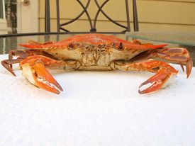 picture of cooked blue crab  - cooked blue crab from the Chesapeake Bay of Maryland on a paper towel - JPG