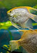 picture of diskus  - decorative fish - JPG