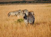 Zebra schauen neugierig