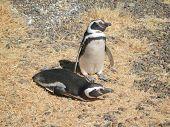 Pair Of Magellanic Penguins