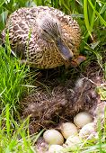 Mother-duck is standing up for her unborn babies
