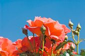 stock photo of defloration  - Blossoming wild red roses over blue sky - JPG