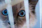 Ragdoll Cat Behind The Bars