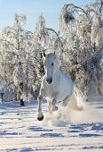 image of running horse  - white horse in a winter running in snow - JPG