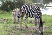 Zebra And Foal Grazing