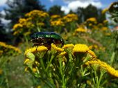 picture of tansy  - Brown beetle on the yellow tansy flowers at field - JPG