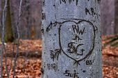 View of tree bark in forest with lovers pledge and other markings.