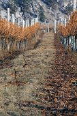 Winter Vineyard Scene