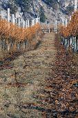 Winter Vineyard Scene
