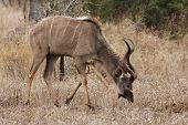 Kudu Bull Grazing