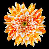 Orange And White Chrysanthemum Flower Isolated On Black