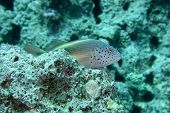 picture of hawkfish  - Also called blacksided hawkfish. Comes in many variations.