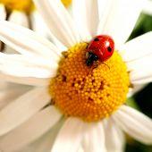 ladybug on white camomile