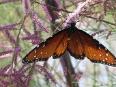 Butterfly On Salt Cedar