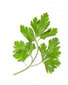 fresh herbs parsley on a white