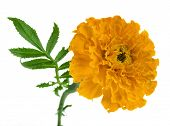 marigold flowers isolated on white background