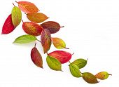 Autumn leaves falling isolated on white